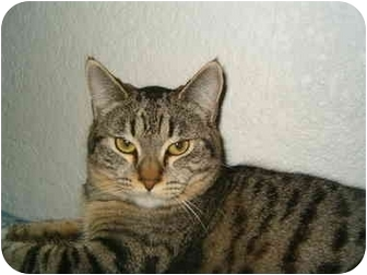 American Shorthair Kitten for adoption in Keizer, Oregon - Jamie in Keizer, OR