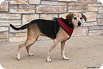 Beagle Mix Dog for adoption in Norman, Oklahoma - Lilac