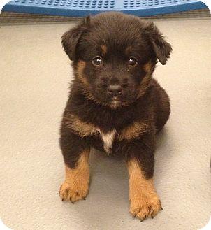 ANNABEL | Adopted Puppy | Chicago, IL | Golden Retriever ...