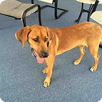 Adopt A Pet :: Angel - Hixson, TN