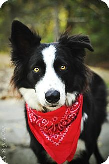 Border Collie Dog for adoption in Milpitas, California - Skip
