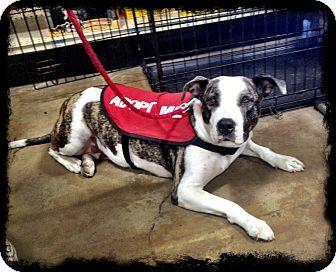 American Bulldog/American Staffordshire Terrier Mix Dog for adoption in China Grove, North Carolina - June