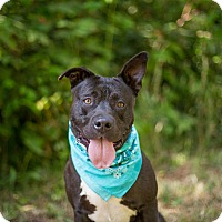 Pit Bull Terrier/Staffordshire Bull Terrier Mix Dog for adoption in Portland, Oregon - Luigi