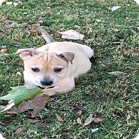 Adopt A Pet :: Fresca - Austin, TX
