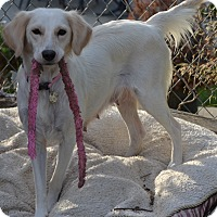 Adopt A Pet :: Calida - Simi Valley, CA