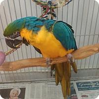 Adopt A Pet :: Millie - Villa Park, IL