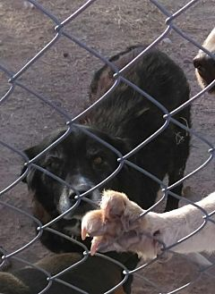 Collie Dog for adoption in Tonopah, Arizona - Blackie