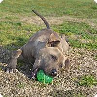 Adopt A Pet :: Chevy - Yuba City, CA