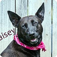 Adopt A Pet :: Maisey - Hamilton, MT