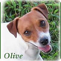 Adopt A Pet :: Olive - Marlborough, MA