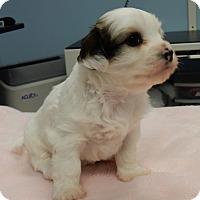 Adopt A Pet :: Dottie $250 - Seneca, SC