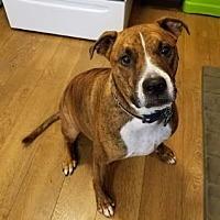 Boxer/Bullmastiff Mix Dog for adoption in Clevelannd, Ohio - Joyful Jamison