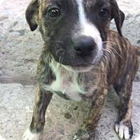 Boxer/Labrador Retriever Mix Puppy for adoption in Dana Point, California - Sabina