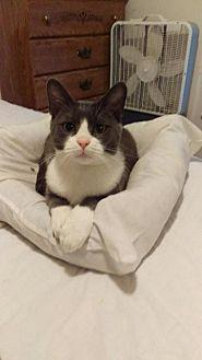 Domestic Shorthair Cat for adoption in Brainardsville, New York - Beau