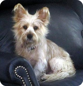 Cairn Terrier/Yorkie, Yorkshire Terrier Mix Dog for adoption in Suffolk, Virginia - Chase