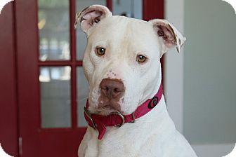 American Bulldog Mix Dog for adoption in St. Charles, Missouri - Pearl