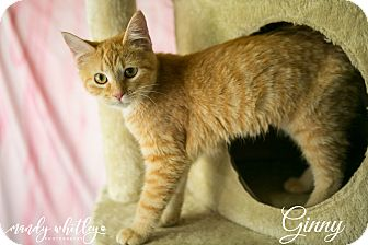 Domestic Shorthair Kitten for adoption in Columbia, Tennessee - Ginny