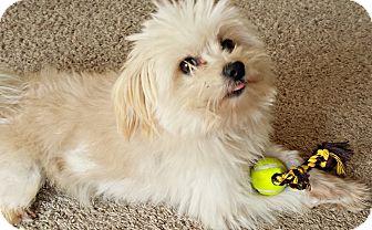 Maltese/Pomeranian Mix Dog for adoption in Boulder, Colorado - Max
