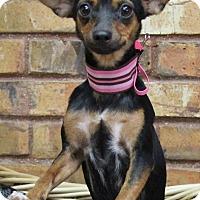 Adopt A Pet :: Swan - Benbrook, TX