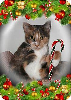 Domestic Shorthair Cat for adoption in Bradenton, Florida - Kiwi