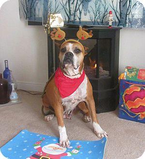 Boxer Dog for adoption in Irvine, California - MAYA