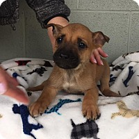 Adopt A Pet :: Budweiser - Spring Valley, NY