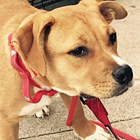Pit Bull Terrier Mix Dog for adoption in Clifton, Texas - Toba