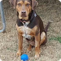Adopt A Pet :: Brownie - Aubrey, TX