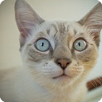 Adopt A Pet :: Dreidel - Los Angeles, CA