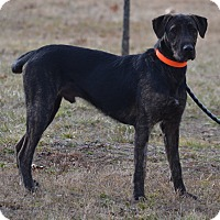 Great Dane/Irish Wolfhound Mix Dog for adoption in Lebanon, Missouri - Archie