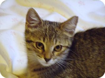 Calico Kitten for adoption in Scottsdale, Arizona - Sasha