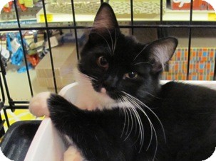 Domestic Shorthair Kitten for adoption in Diamond Bar, California - BELLE