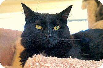 Domestic Mediumhair Cat for adoption in Victor, New York - Magic