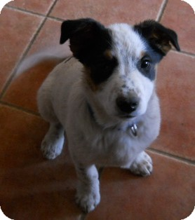Cattle Dog/Australian Shepherd Mix Puppy for adoption in dewey, Arizona - Snoopy