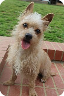 Silky Terrier/Border Terrier Mix Dog for adoption in Hagerstown, Maryland - Dobby