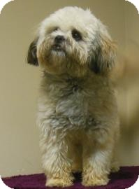 Lhasa Apso Mix Dog for adoption in Gary, Indiana - CoCo