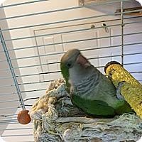 Adopt A Pet :: Munchkin - Punta Gorda, FL