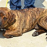 Adopt A Pet :: Maddox - Toledo, OH