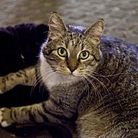 Domestic Shorthair Cat for adoption in Midway City, California - Toby