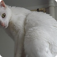 Domestic Shorthair Cat for adoption in Owenboro, Kentucky - ISIS