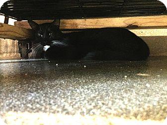 Domestic Shorthair Cat for adoption in Boca Raton, Florida - Mac