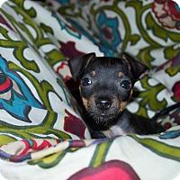 Adopt A Pet :: Cleopatra - Egyptian Pup - Encino, CA