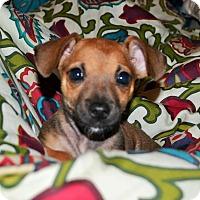 Adopt A Pet :: Nefertiti - Egyptian Pup - Encino, CA