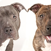 Adopt A Pet :: Billy Rae & Miley - Chicago, IL