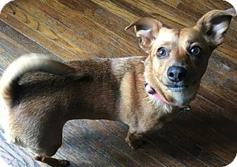Dachshund/Jack Russell Terrier Mix Dog for adoption in Bellbrook, Ohio - Shelley