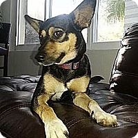 Miniature Pinscher/Jack Russell Terrier Mix Dog for adoption in Middlesex, Vermont - Noel