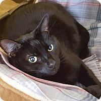 Adopt A Pet :: Cormorant - Salisbury, MA