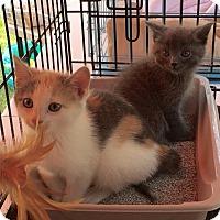 Adopt A Pet :: Chloe - Horsham, PA