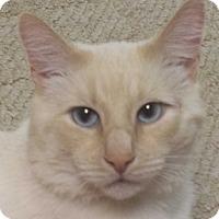 Siamese Cat for adoption in Stafford, Virginia - Simon