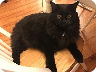 Domestic Longhair Cat for adoption in Somerville, Massachusetts - Madison